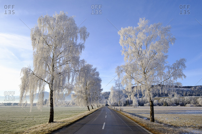 Germany- Bavaria- Sindelsdorf- birch trees covered with hoarfrost at country road