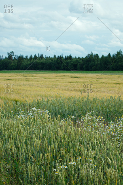 Scenic view of vast field covered with green barley, golden wheat and chamomile on background of forest and cloudy sky