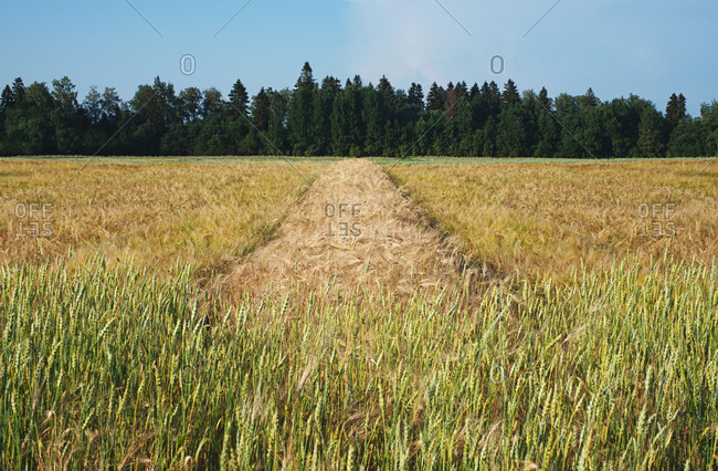 Rich summer harvest. Picturesque view of vast field with ripe wheat, rye and barley against forest background on bright summer day