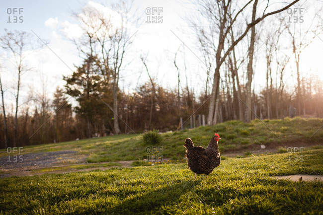 Chicken walking across a lawn at sunset