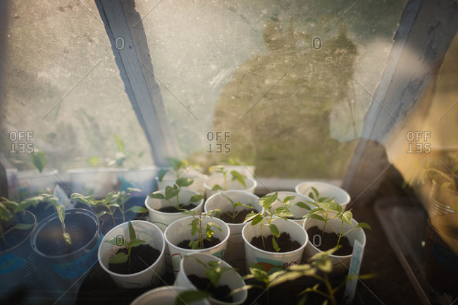 Seedlings in paper cups inside a small greenhouse of old windows