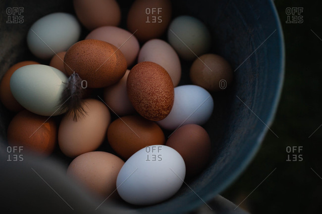 Farm fresh eggs and a chicken feather in a metal pail