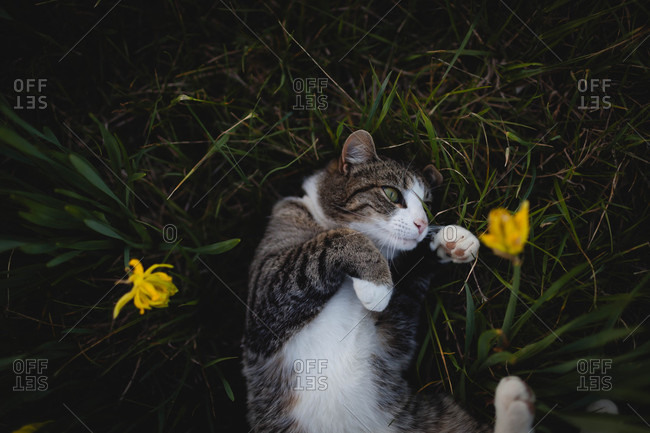 Cat lying on its back in grass and yellow flowers