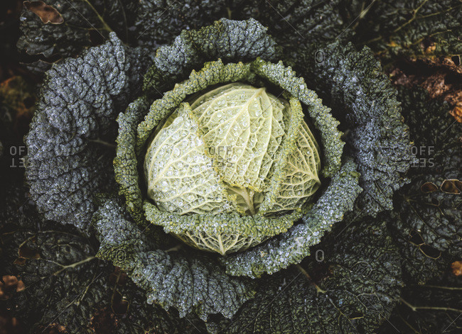Savoy cabbage in a field