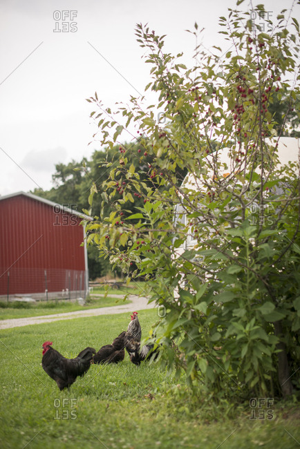 Chickens grazing in a yard in summer