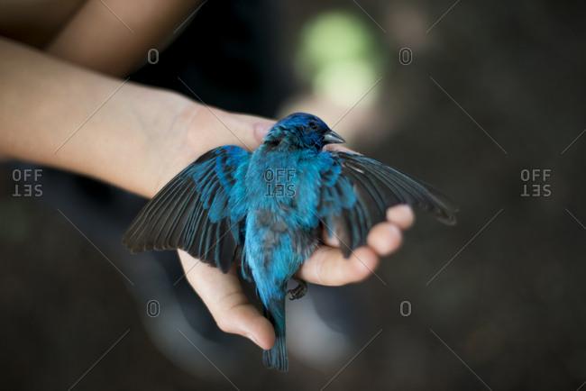 An indigo bunting bird in hand