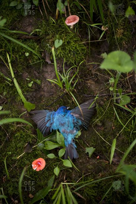 Dead indigo bunting bird