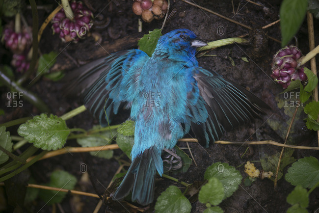 Dead indigo bunting bird on ground