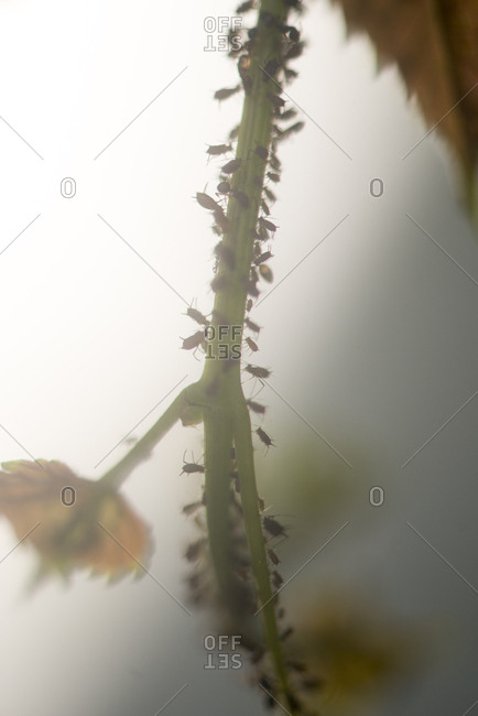 Aphids walking along a plant