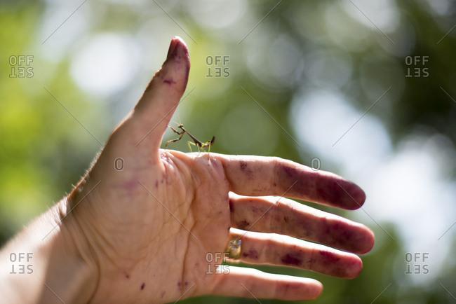 Praying mantis on hand