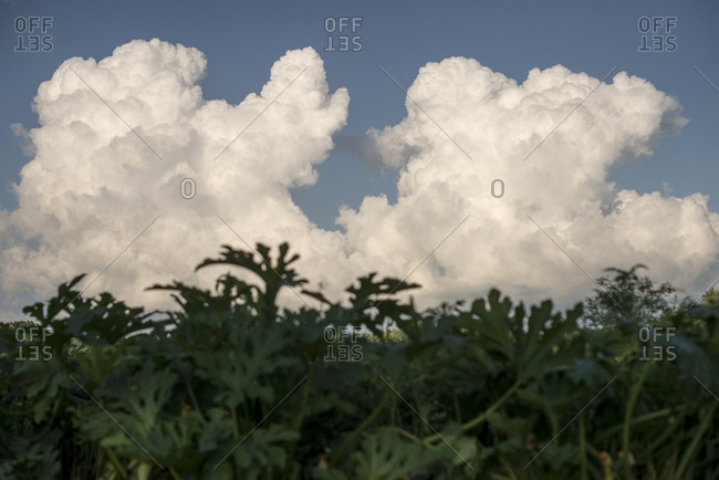 Clouds behind summer plants
