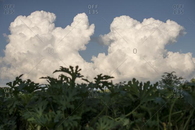 Clouds behind summer plants