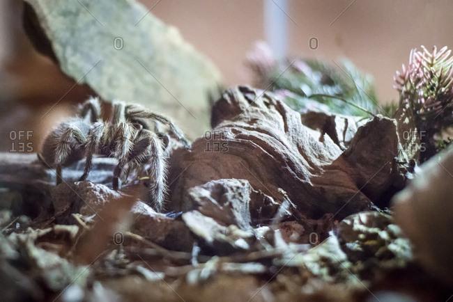 A tarantula in a terrarium