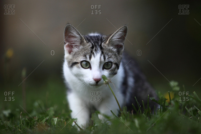 France, Curious young tabby-cat on the grass
