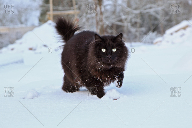 France, Black cat Maine Coon running and playing in the snow