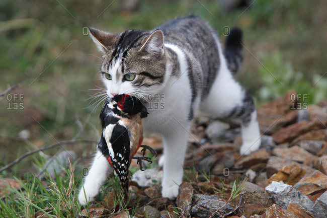 France, Young tabby-cat hunting and killing a great spotted woodpecker