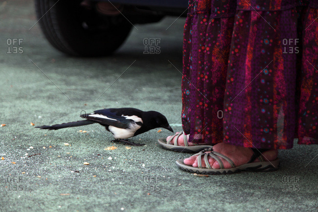 France, Animal behavior, magpie coming closer to human feet