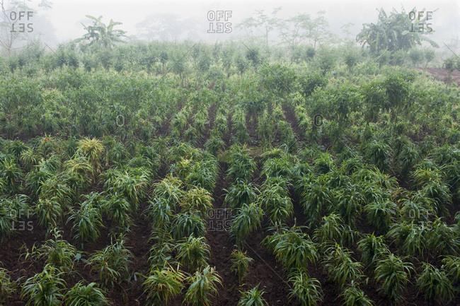 India, Orissa, Koraput district, ginger cultivation near a Mali village