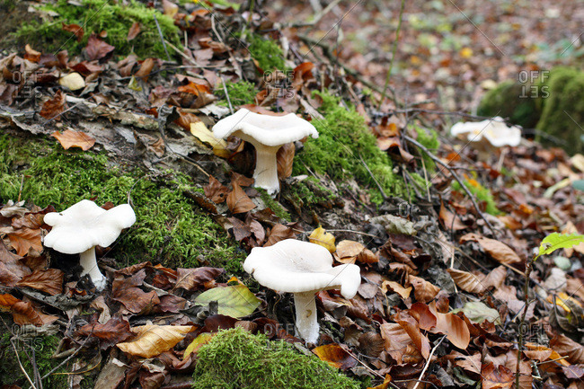 France, near Paris, Forest of Malvoisine in autumn. White mushrooms clitocybes surrounding by foam.