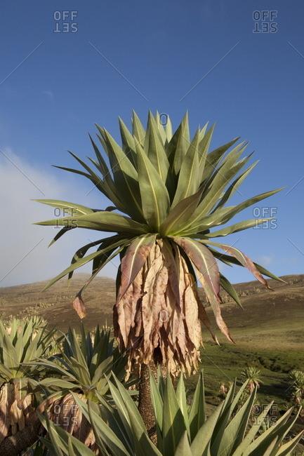 Ethiopia, Giant lobelia, Simien mountains