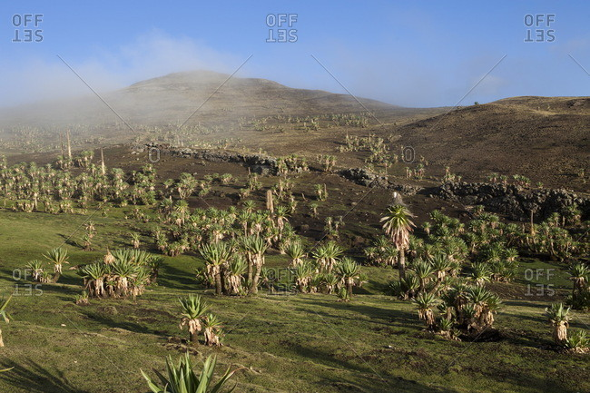 Ethiopia, Landscape with giant lobelia at dawn in the mist, Simien mountains