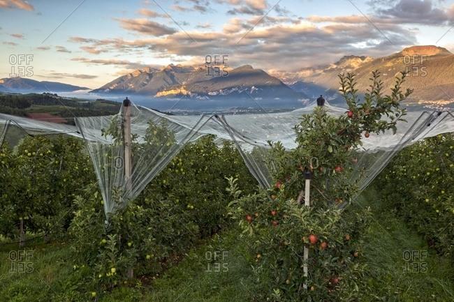 Apple orchard, Val di Non towards Brenta dolomites, Trentino, Italy
