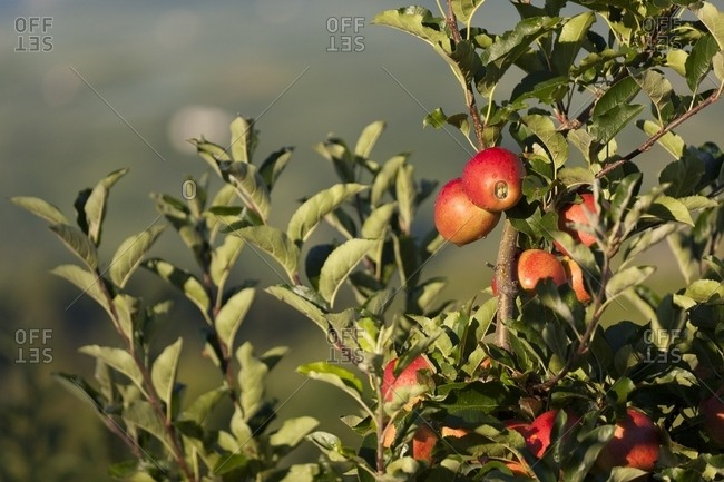 Red apples ready to eat on a fruit plantation in the Non Valley, Val di Non, the famous apple Valley, Trentino, Italy