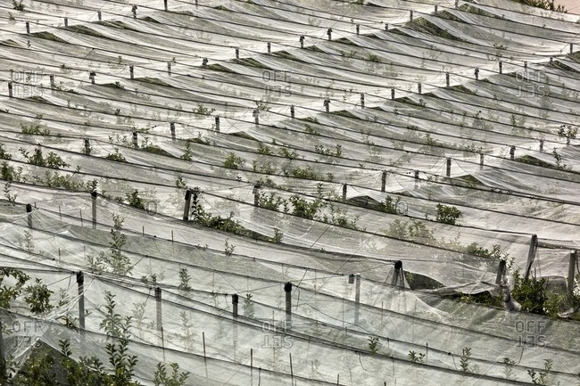 Apple orchards of Val di Non protected by anti hail coverage, Non Valley, Trentino, Italy