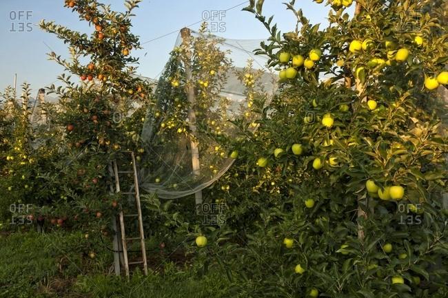 Apple orchard,, Val di Non, Trentino, Italy
