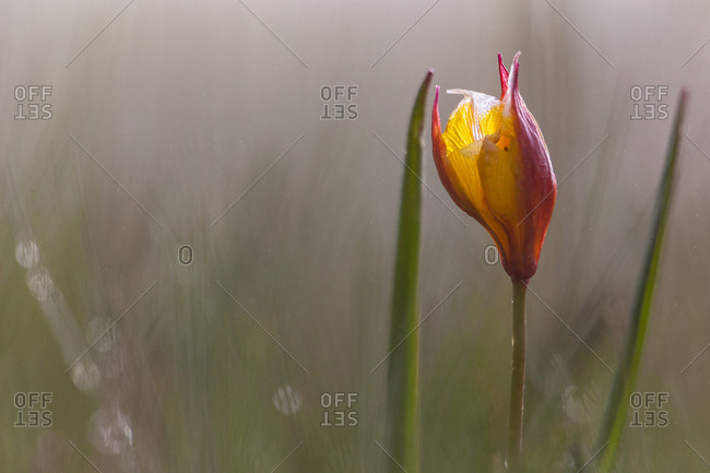 Wild tulip the Pian Grande of Castelluccio di Norcia, Italy