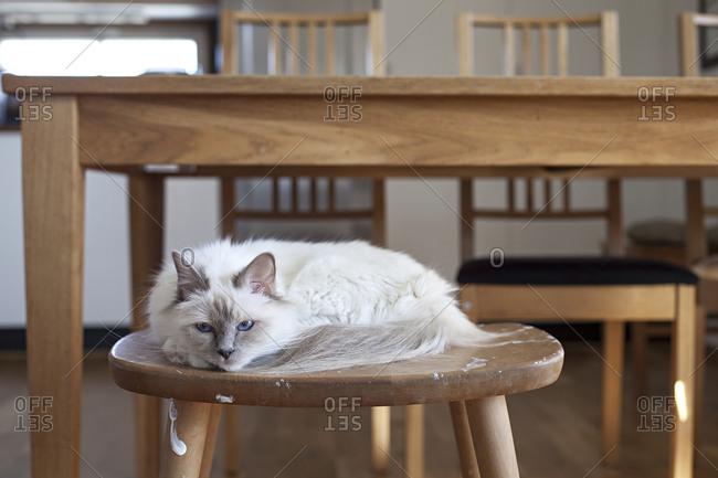 Sacred barman cat resting on a stool