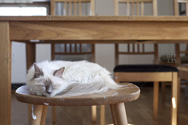 Sacred barman cat sleeping on a stool