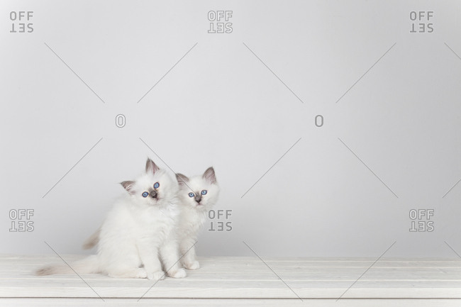 Two sacred barman kittens on white background