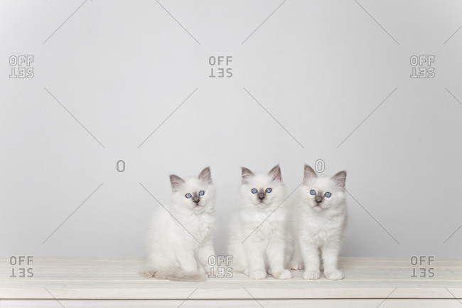 Three sacred barman kittens on white background