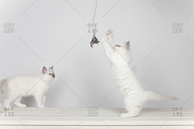 Two sacred barman kittens playing with toy on white background