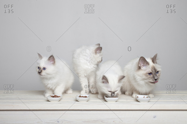 Four sacred barman kittens eating