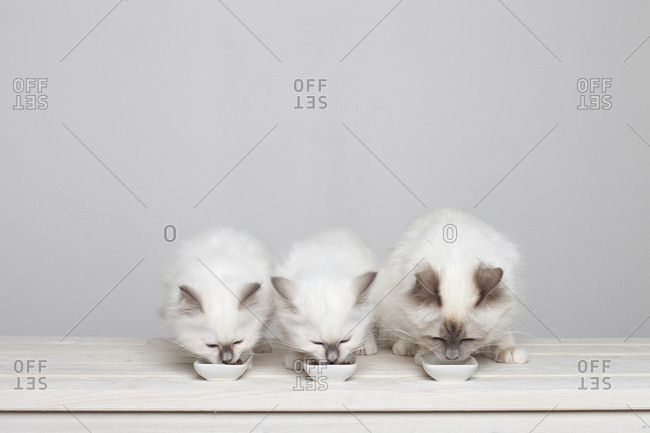 Three 10 week old sacred barman kittens eating