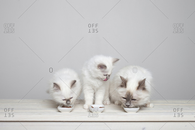 Three young sacred barman kittens eating