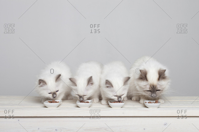 Four young sacred barman kittens eating