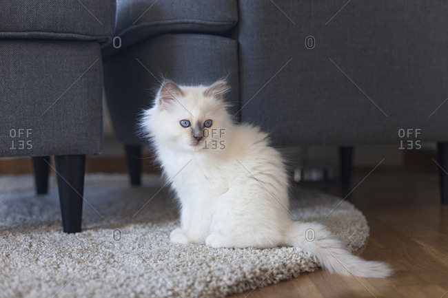 A sacred barman kitten sitting on a rug