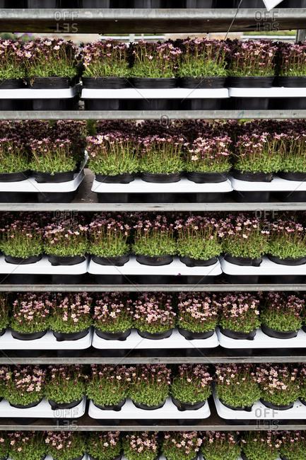 Nursery flowers on shelves
