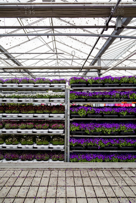 Flowers on shelves in greenhouse