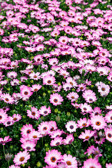 Daisy flowers in a nursery