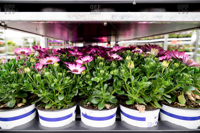 Flowers in pots on shelves