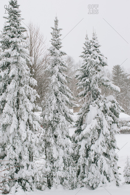 Evergreen trees covered in heavy snow
