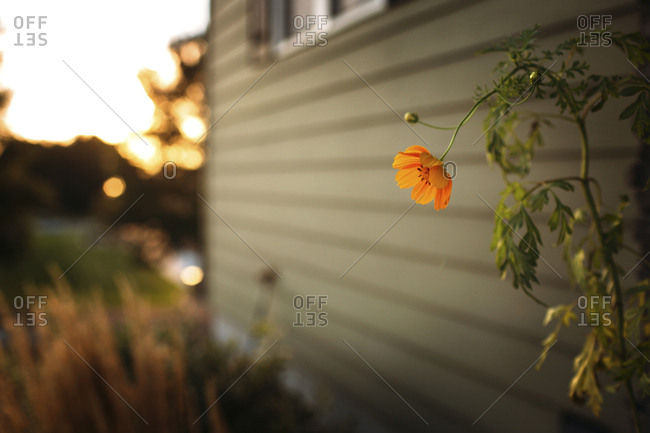 Cosmos flower growing by house in backyard during sunset