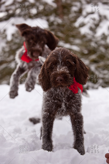 Brown dogs on snow covered field