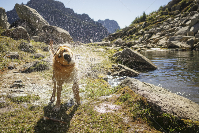 Dog shaking off water while standing on field at North Cascades National Park