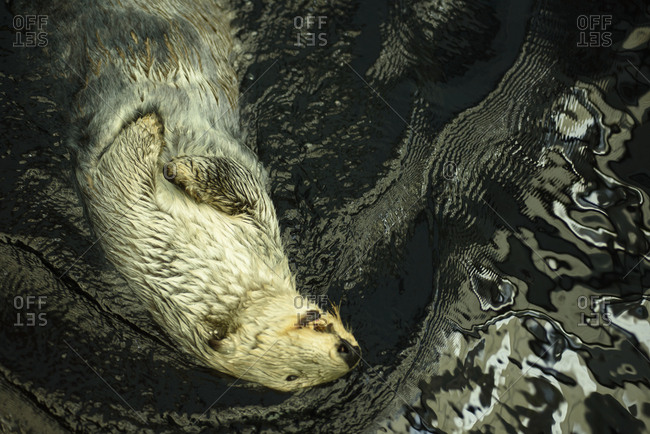 Overhead view of a sea otter swimming in water