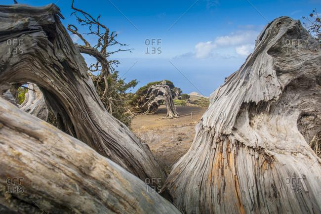 Canary Islands (Spain), Hierro . wind bent trees at El Sabinar